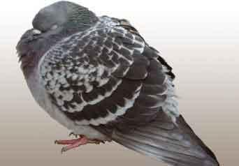 Güvercinlerde Hexamitiasis Parazit Hastalığı