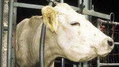 Sığırlarda Farengitis ( Pharyngitis – Yutak Yangısı )
