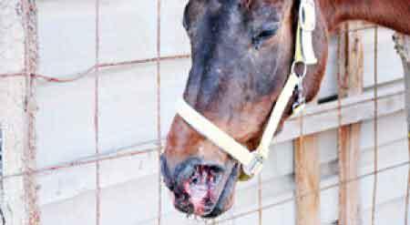 Atlarda Ruam (Mankafa) Hastalığı