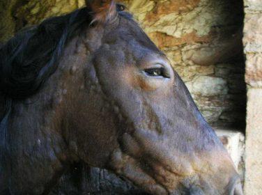 Atlarda Yaz Kanaması (Parafilariosis)