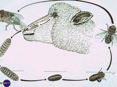 Koyun, Keçi Burun Kurtları – Büvelek – Oestrosis – Oestrus ovis