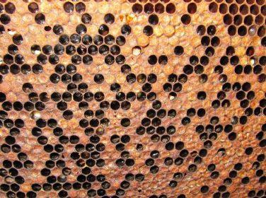 Arılarda Amerikan Yavru Çürüklüğü