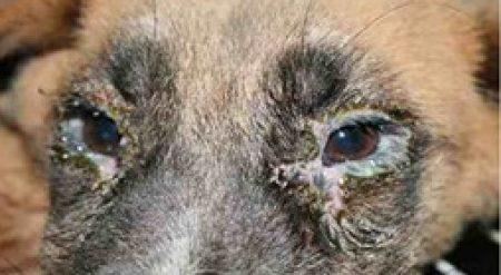 Köpek Gençlik Hastalığı – Distemper