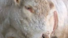 Enfeksiyoz Bovine Rhinotracheitis-IBR