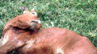 Sığırlarda Kuduz Hastalığı – Rabies