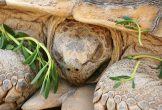 Kaplumbağalar Kış Uykusuna Yatar mı?