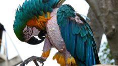 Kuşlar Neden Tüylerini Kopartırlar?