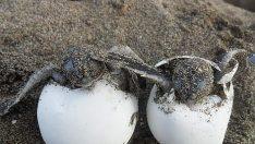 Kaplumbağalarda Yumurtlama ve Kuluçka Zamanı?