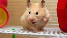 Hamsterlar Hakkında Bilinmesi Gerekenler