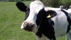 Sığırlarda Puerperal Hemoglobinuri