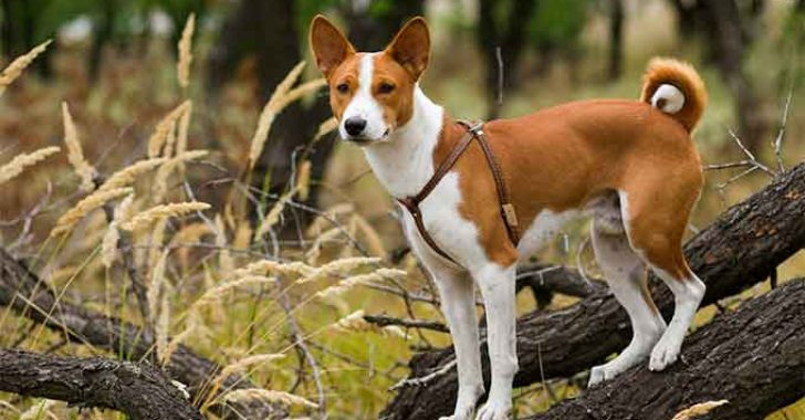 Basenji Köpek Irkı