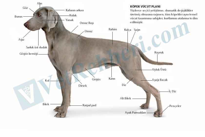 Köpek Vücut Planı