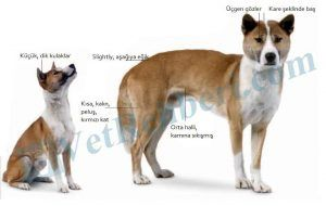 Yeni-Gine-Şarkıcı-Köpeği-Fiziksel-Ayırıcı-Özellikleri