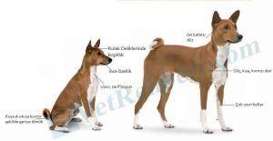 Basenji Köpek Irkı Fiziksel Özellikleri