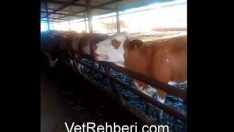 Sığırlarda Dil Çevirme (Oynatma) Hastalığı