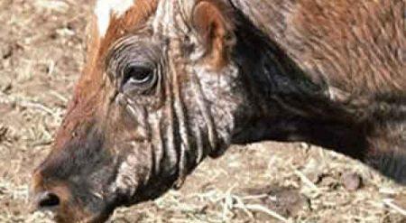 Sığırlarda Uyuz Hastalığı (Acariasis)