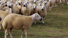 Kangal Irkı Koyun Yetiştiriciliği