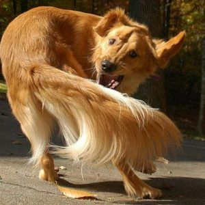 Köpeklerde kuyruk kovalama