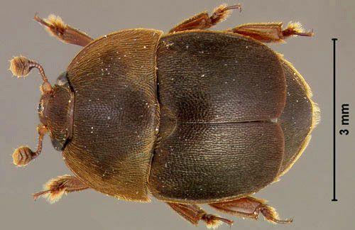 Küçük Kovan Böceği (KKB)