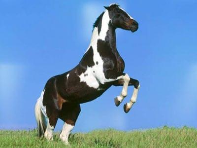 Atlarda Alaca Don