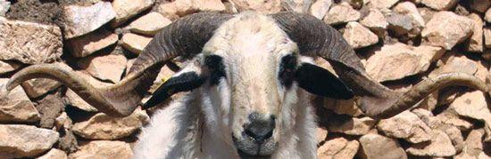 Dağlıç koyun ırkı koçlarının boynuz yapılarının fiziksel görünümü