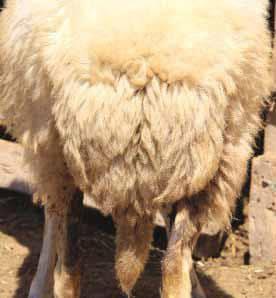 Dağlıç Koyun Irkı Kuyruk Yapısının Fiziksel Görünümü